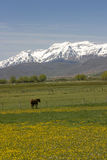 Horse in pasture with mountains Royalty Free Stock Photos