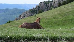 А horse in the pasture in the mountains stock footage