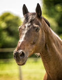 Horse in a Pasture Stock Photo