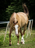 Horse in a Pasture Royalty Free Stock Photos