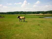 Horse on pasture Royalty Free Stock Photo