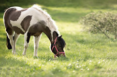 Horse on the pasture Royalty Free Stock Image