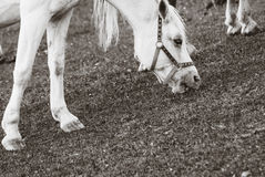 Horse on Pasture, Sepia Color Stock Image