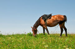 Horse on a pasture. Horse on a summer mountain pasture Royalty Free Stock Photography