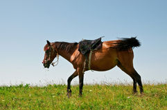 Horse on a pasture Stock Photos