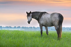 Horse in pasture at sunrise Stock Photography