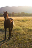 A Horse on a Pasture at Sunset. A horse looking at the camera with ears perked up in a large pasture in front of distant mountains, backlit by the setting sun Royalty Free Stock Photography
