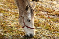 Horse. On pasture in winter Royalty Free Stock Image