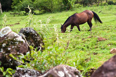 Horse pasturing stock photo