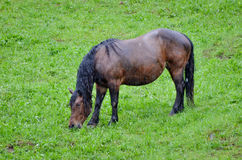 Horse in pasturing and eating grass in the rain. Wet animal without a shelter in the nature Stock Photo