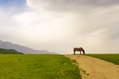 Horse pasturing Stock Photography