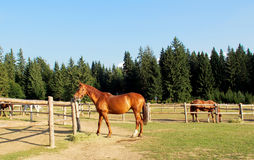 Horse on paturage Royalty Free Stock Images