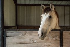 Beautiful Horse in Texas Hill Country royalty free stock photo