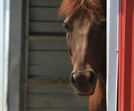 Horse peeking around a corner. Pretty red Morgan horse peeking around a corner of a barn royalty free stock image