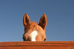 Horse peeking over fence Stock Image