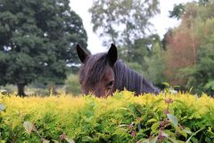 Horse peeping over the hedge in the New Forest England royalty free stock photos