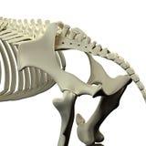 Horse Pelvis - Horse Equus Anatomy - isolated on white Stock Photography