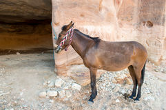 Horse in Petra Royalty Free Stock Photo