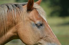 Horse. Picture of a sorrel Morgan horse stock photography