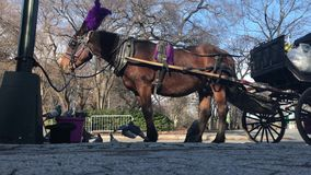Horse and pigeons. New York, December 30, 2016: A horse is eating from a bucket during its rest from pulling a carriage in Central Park. A flock of pigeons are stock video footage