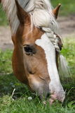 Horse and pigtail Royalty Free Stock Photo