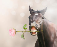 Horse with pink rose in mouth on bokeh background Stock Image