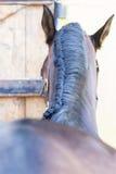 Horse plaited mane Stock Images