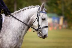 Horse With Plaited Mane In Show Ring. Grey horse with plaited mane being ridden in the ring of a country show stock photos