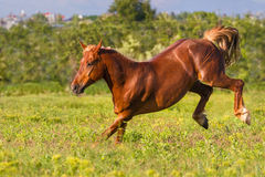 Horse play fun Royalty Free Stock Photography