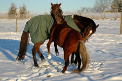 Horse play in snow. Two horses playing in snow outdoors in winter day Royalty Free Stock Photo