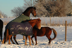 Horse play in snow. Two horses and pony playing in snow outdoors in winter day Stock Photo