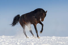 Horse play in snow Stock Photography