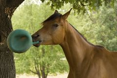 Horse playing with ball. A young Arabian colt yearling playing with a green ball stock images