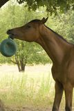 Horse playing with ball. Arabian horse playing with a green ball in his mouth royalty free stock photo