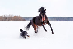 Horse playing with a dog. Bay stallion galloping with a black dog on a white snow, young purebred, thoroughbred horse, beautiful horse, bloodstock, graceful Royalty Free Stock Photos