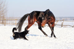 Horse playing with a dog. Bay stallion galloping with a black dog on a white snow, young purebred, thoroughbred horse, beautiful horse, bloodstock, graceful Stock Photo