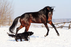 Horse playing with a dog. Bay stallion galloping with a black dog on a white snow, young purebred, thoroughbred horse, beautiful horse, bloodstock, graceful Royalty Free Stock Photo