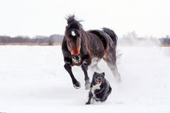 Horse playing with a dog. Bay stallion galloping with a black dog on a white snow, young purebred, thoroughbred horse, beautiful horse, bloodstock, graceful Stock Photography