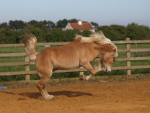 Horse Playing Royalty Free Stock Photo