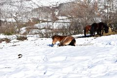 Horse playing in a snowy mountain. Piornedo, Ancares Region, Galicia, Spain. stock image
