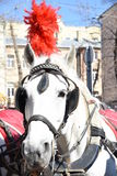 A horse with plumes Royalty Free Stock Image