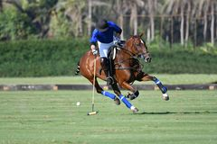 Horse polo player use a mallet hit ball. In tournament stock photography