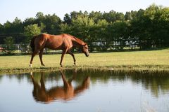 Horse at the pond Stock Images
