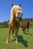 Horse, pony. Portrait of smiling horse on green meadow and another horse on the background Stock Photography