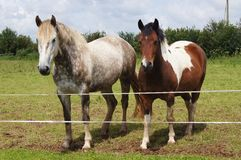 Horse and Pony Royalty Free Stock Images