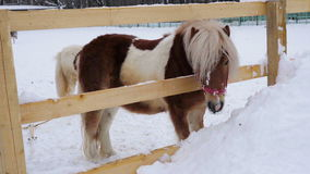 Horse pony eating fresh snow. Horse pony wanted to drink and she decided to chew on fresh snow. Quiet cloudy winter day. Falling l stock video