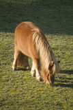 Horse pony  in the farm Stock Images