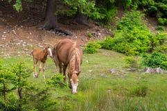 Horse and pony grazes . Stock Image