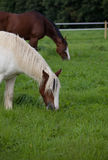 Horse and pony grazing uk. Horse grazing with a pony, electric fence dividing the field, horse wearing protective boots stock photography