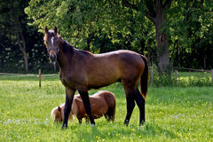 Horse and pony in meadow Stock Images